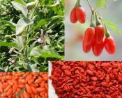 ягода годжи