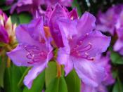 1_rhododendron.jpg