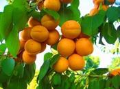 abrikos00.jpg