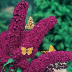 buddleja-davidii-royal-red.jpg