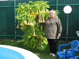 бругмансия фото выращивание и уход