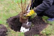 как посадить смородину