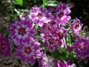 Работы на садовом участке. Продлеваем обильное цветение однолетних с помощью агротехнических мероприятий (полив и подкормка)