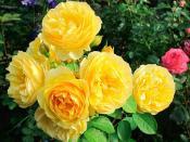 пионовидные розы