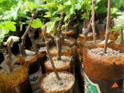 сажаем виноград весной