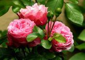 roses-279583_640.jpg