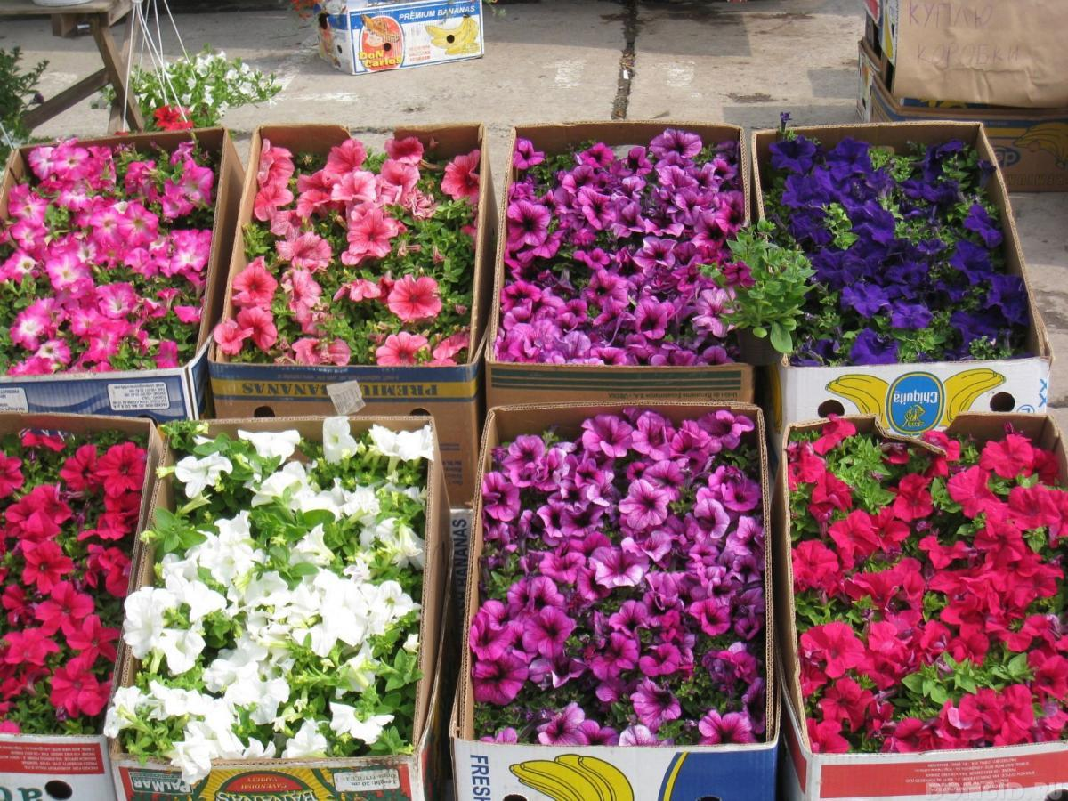 Купить рассаду цветы петуния подарок мужчине как массаж зелкноград