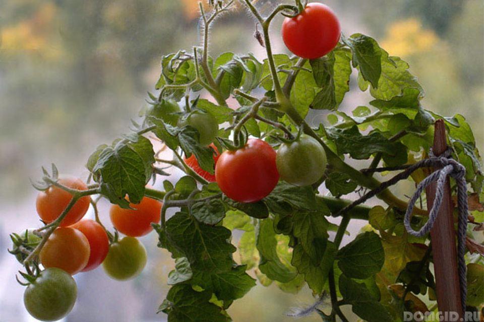 Хорошие сорта помидоров черри вырасти сад!.
