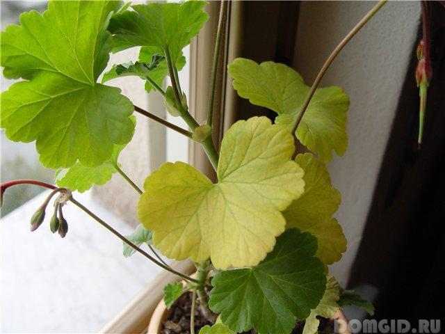 Герань уход в домашних условиях листья желтеют