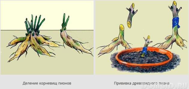 Пион древовидный размножение черенками