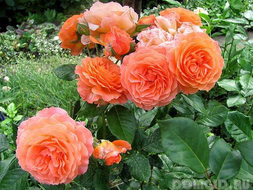 Роза пионовидная