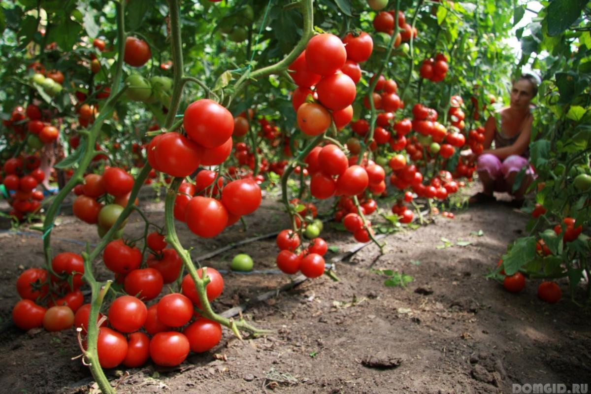 Выращивание томатов в теплице зимой 66