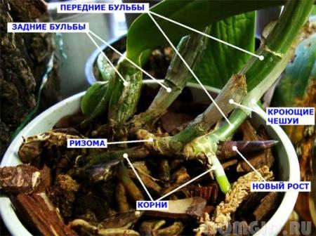 Правильный полив орхидеи фаленопсис в домашних условиях