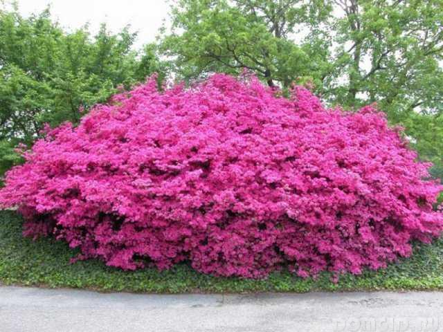 Цветущие кустарники для сада фото