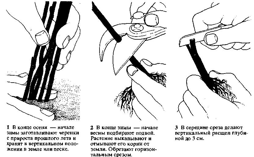 Глициния выращивание в беларуси