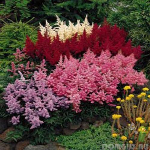 Почвопокровные многолетники цветущие все лето Тенелюбивые