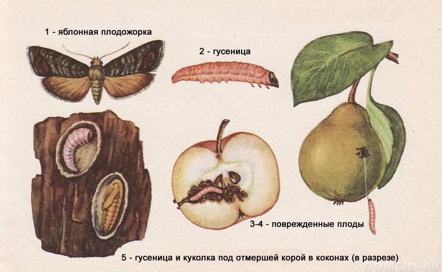 Ловчий пояс для плодового дерева – защита от вредителей, как это делается своими руками, советы садоводов