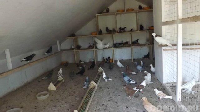 Как развести голубей в домашних условиях