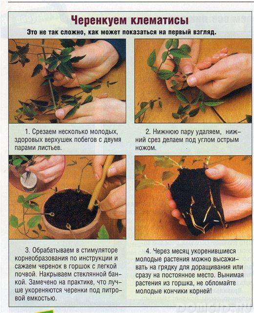 Как сажать клематис черенками 433