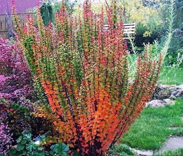 фото растение барбарис