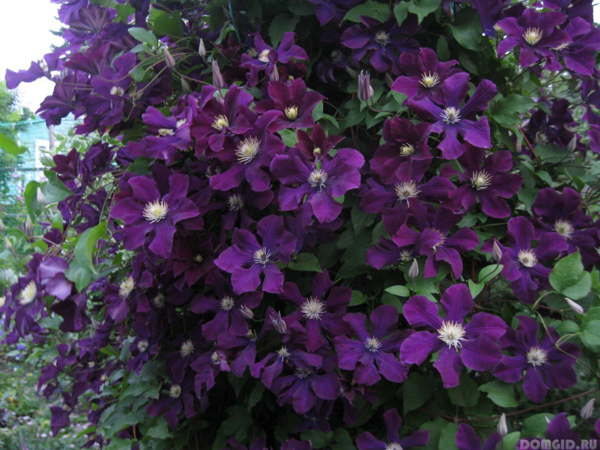 Показать фото цветов клематиса