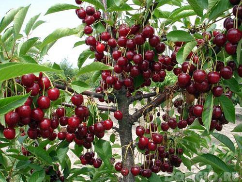 Подкормки плодовых деревьев