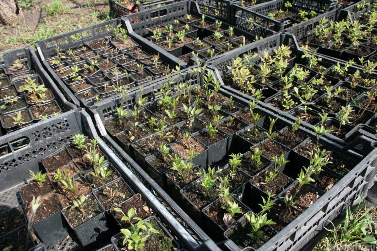 Клематисы выращивание из семян 21